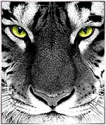 Tygr - ja