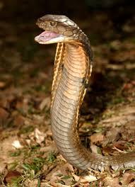 Kingdom of the Cobra