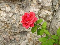 Karlštejsnká růže