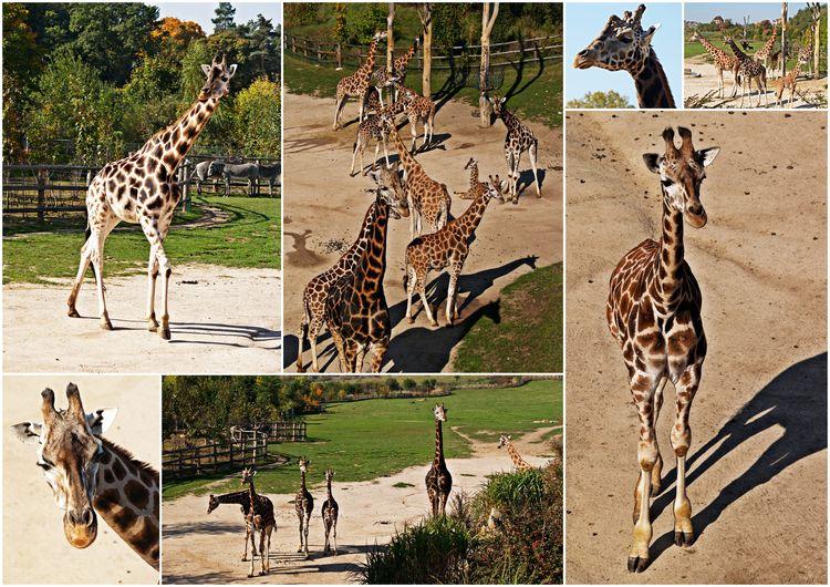 Pražská ZOO - Žirafa Rothschildova