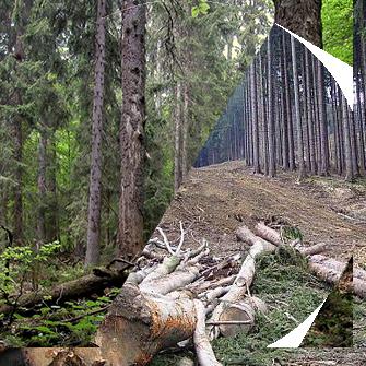 Co je opravdový les a co je pouhé pole lesníků? A máme do lesa zasahovat, aby se mohl přirozeně obnovovat? Jakou roli má mít člověk ve správě přírody? Na tyto otázky odpovídá dokument o Šumavě.